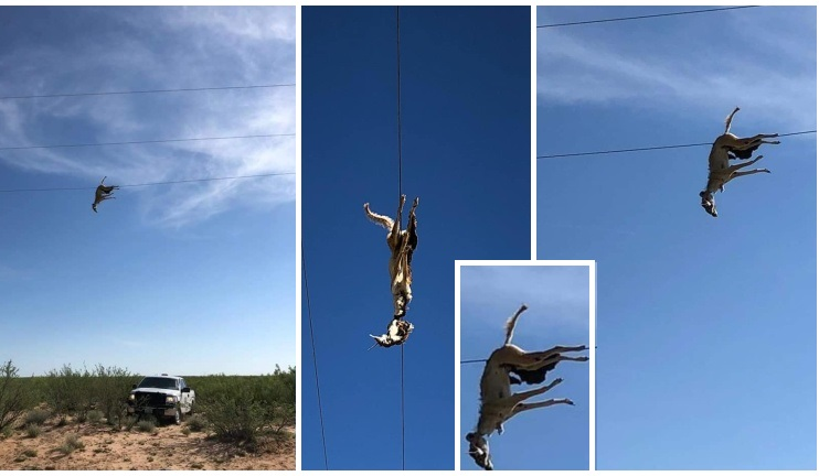 Unexplainable.! A coyote hangs on local power lines with some kind of prey in its snout